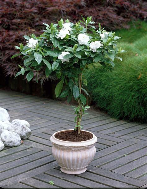 gardenia in vaso plantes d int 233 rieur parfum 233 es une s 233 lection s 233 duisante