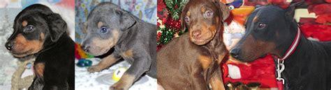 doberman puppies for sale in ky doberman pinscher puppies for sale in kentucky henson s doberman pinscher puppies
