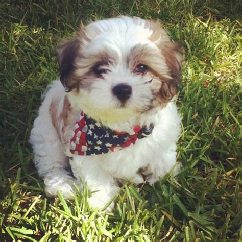 mini teddy puppies for sale shichon express