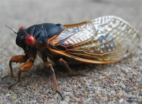 cicada invasion survival guide april 2011