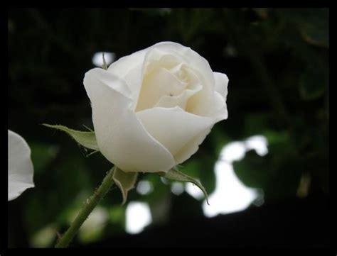 libro rosa blanca rose blanche rose blanche rose bleu
