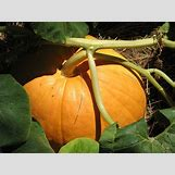 Pumpkins Growing   800 x 600 jpeg 103kB
