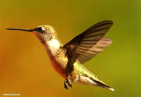 ruby throated hummingbird my beautiful world page 2