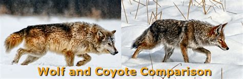 difference between wolves and dogs difference between coyotes and wolves