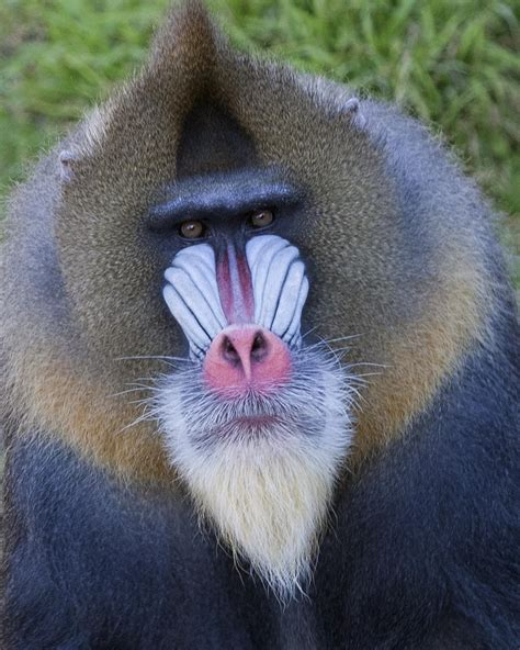 jesse sf zoos male mandrill celebrates  birthday sf appeal san franciscos