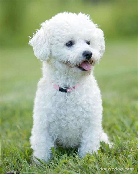 Recommended White Avel bichon frise breed 187 information pictures more