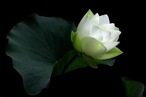 what is white lotus black and white lotus flower white lotus flower on black