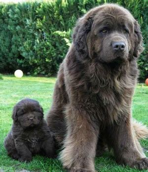 newfie puppies for sale newfoundland puppies for sale newfoundland breeders newfies for sale