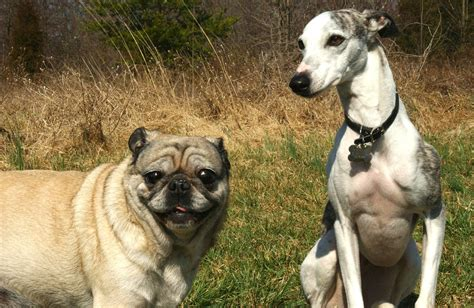 pug heat stroke learn 5 risk factors for heat stroke iheartdogs