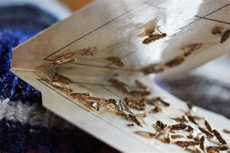 wie sehen silberfische aus motten schaben silberfischchen umweltbundesamt