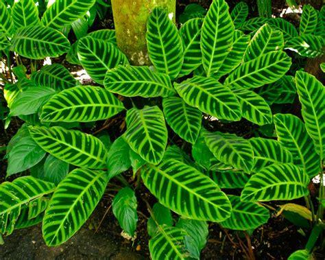Calathea Zebrina gardensonline calathea zebrina