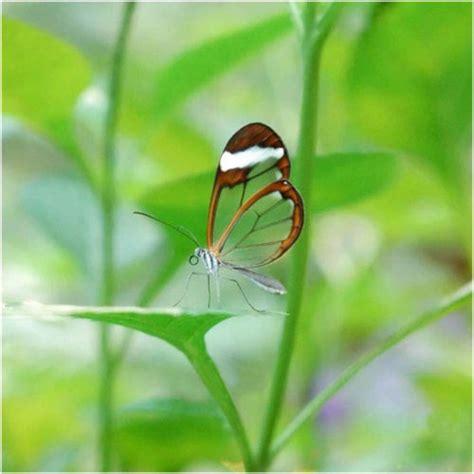 imagenes mariposas de cristal la mariposa transparente la reserva