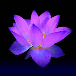 Purple Lotus Evening Purple Lotus Painting By David Dehner