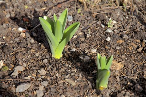 info on spring bulb flowers how long does it take for