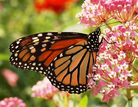 imagenes de mariposas unicas mariposas monarcas on pinterest monarch butterfly