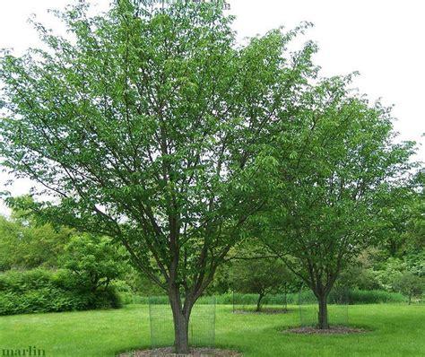 judd s cherry tree prunus x juddii whs cherry orchard pinterest cherry tree prunus and