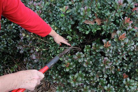 connecticut garden journal how to prune shrubs wnpr news