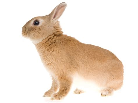 the rabbit the solution to our domesticated issues books netherland for sale rabbits breed information