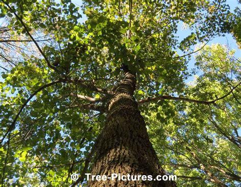 american tree american beech forest picture treepicturesonline