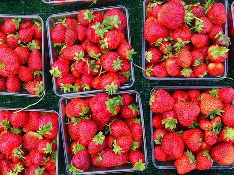 coltivazione fragole in vaso coltivazione fragole frutteto come coltivare le fragole