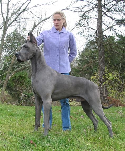 dane puppies blue great danes breeds picture