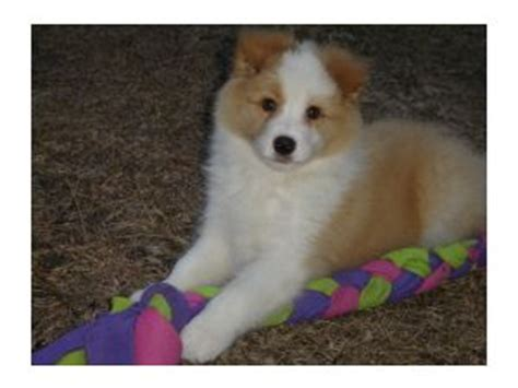 border collie puppies for sale florida border collies for sale in callahan florida breeds picture