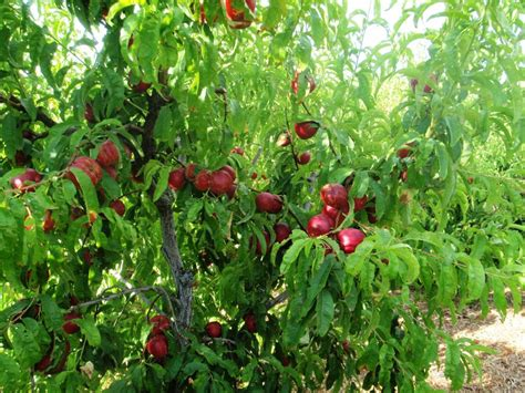 nectarine tree xtremehorticulture of the desert scarring of nectarine from thrips can be prevented