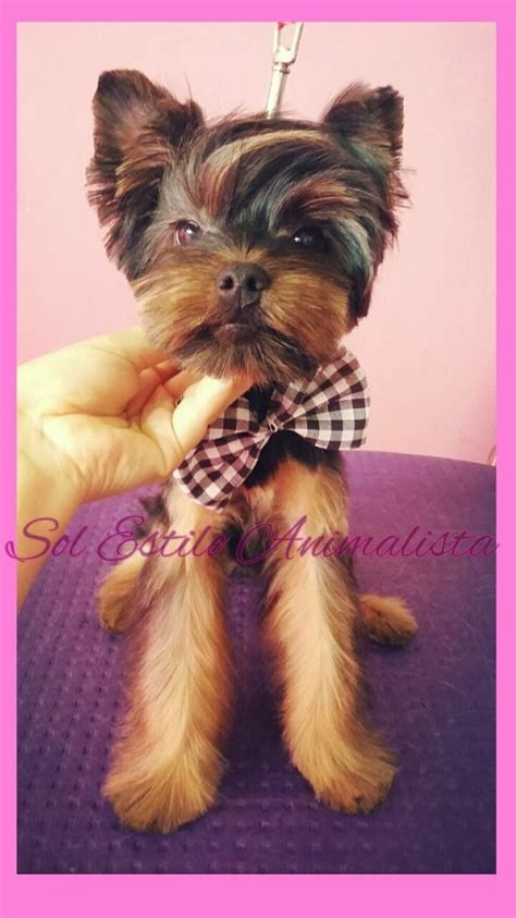 yorkie pom haircuts 17 best images about grooming on pinterest poodles