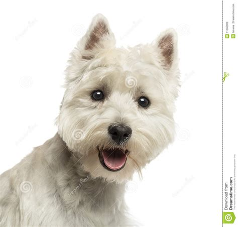 close cut westie pics close up of a west highland white terrier looking at the