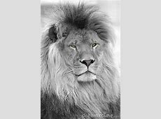Black And White Portrait Of Lion Royalty Free Stock Images ... Free Clipart Images For Holidays