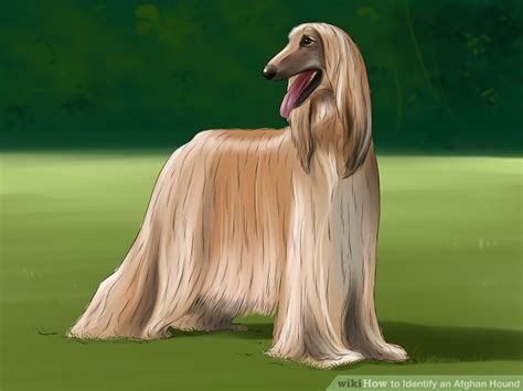 how to a hound how to identify an afghan hound 12 steps with pictures