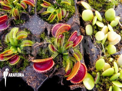Benih Venus Flytrap Dentate araflora flora more venus flytrap dionaea muscipula dentate starter