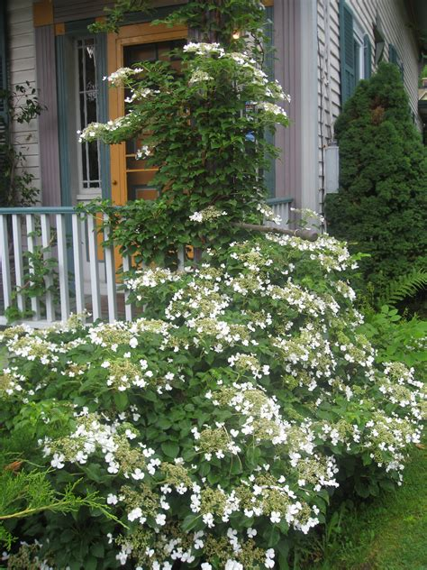 planting climbing hydrangea the thymes uconnladybug s