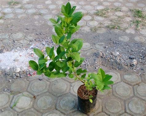 Bibit Buah Bit tips merawat bibit tanaman agar selalu sehat dan cepat berbuah bibit