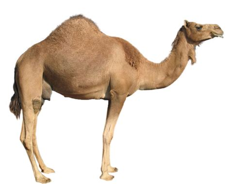 Of A the meaning and symbolism of the word camel