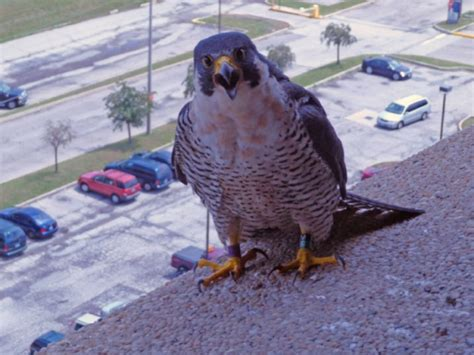 peregrine falcons thriving in ontario the star