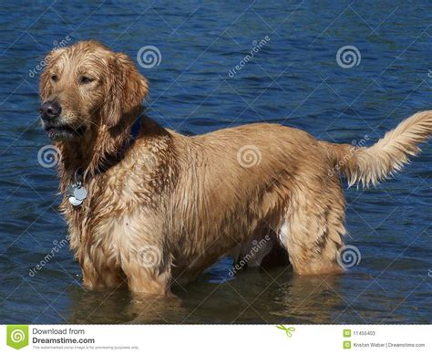 golden retriever in water golden retriever standing in lake water stock photos image 11455403