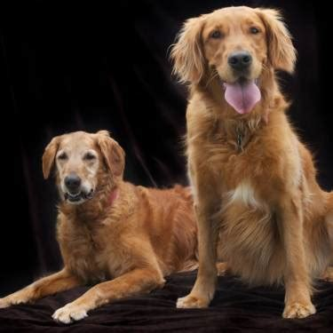 golden retriever rescue ventura county forever friends golden retriever rescue of ventura county foreverfriendsgolden