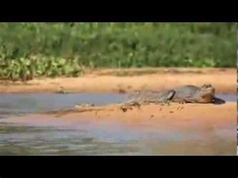 jaguar hunts crocodile jaguar hunts crocodile amazing jaguar chasse