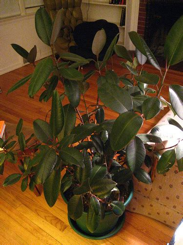 care   indoor rubber plant garden guides