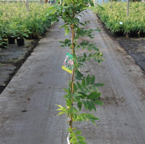 blauwe regen 150 cm klimplant wisteria brach showa beni cont 5 0l 150