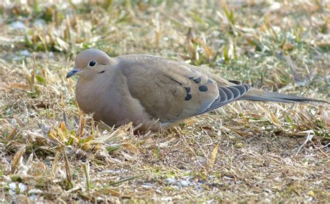 mourning doves feederwatch