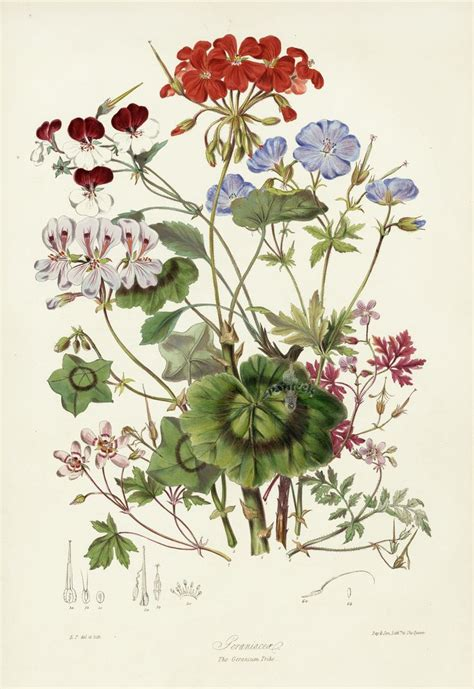 17 best ideas about botanical drawings on pinterest
