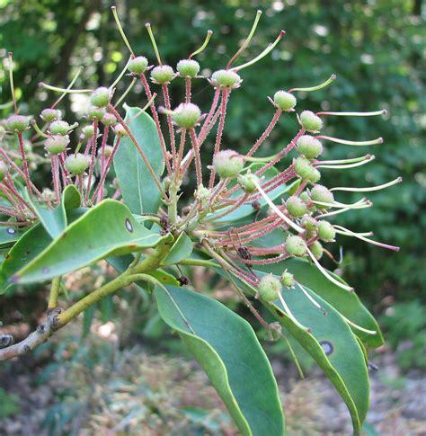 kalmia latifolia kalmia latifolia mountain american laurel mountain