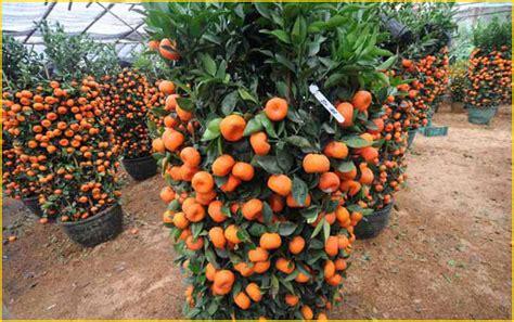 Jual Bibit Buah Naga Di Cikarang jual bibit tanaman buah jeruk 0878 55000 800 jual