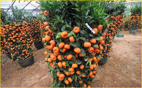 Jual Bibit Buah Tin Di Indonesia jual bibit tanaman buah jeruk 0878 55000 800 jual