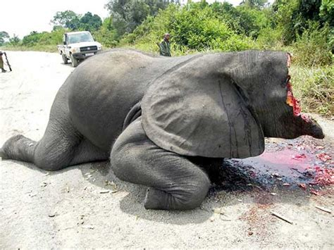 Elephant Poaching   Slaughtered For Their Tusks
