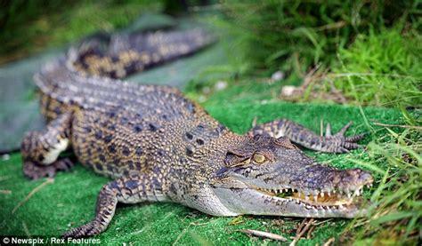 Backyard Pets Saltwater Crocodile Called Jugular Goes On Sale As