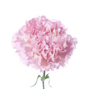 light pink carnations flower muse