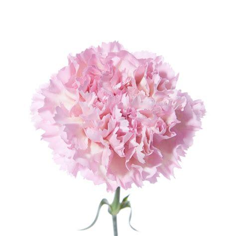 light pink carnations flower muse